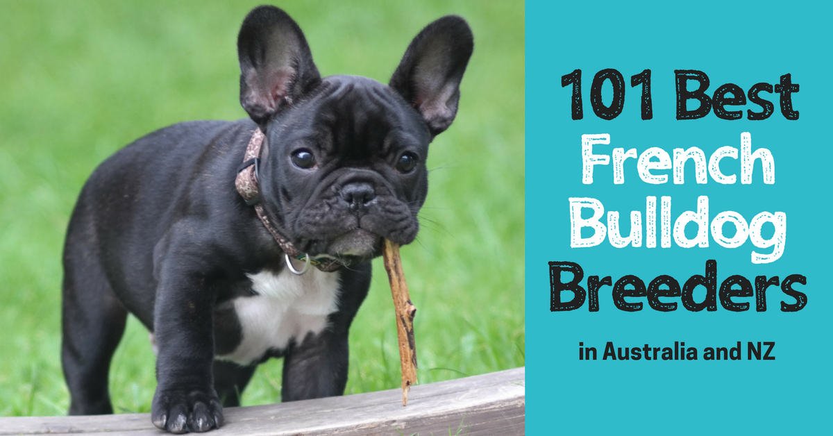5 Warning Signs Of A Risky French Bulldog Breeder